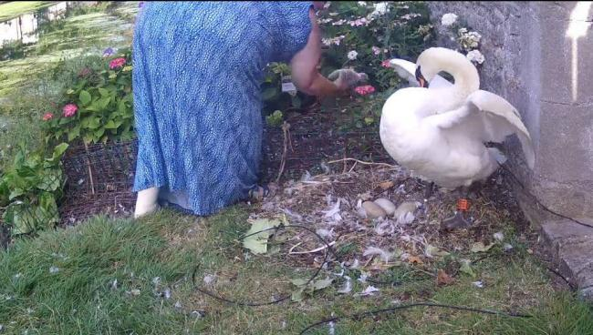 RESCUE: Staff at Bishop's Palace in Wells rescue the cygnet