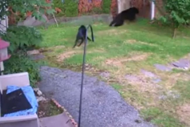 The bear was chased away by a dog less than half its size
