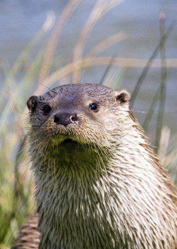 Burnham and Highbridge Weekly News: COMEBACK: An otter in Sussex. Picture by Stephen Bray
