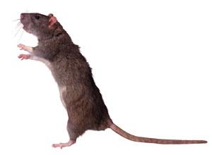 Burnham and Highbridge Weekly News: Can you help us trap the web vote rat?