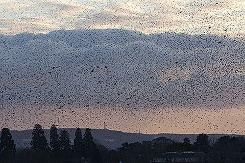 VIDEO: Starlings swoop in Somerset skyline