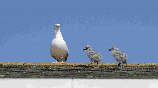 Highbridge resident calls for seagull cull