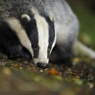 The Badger Trust so
