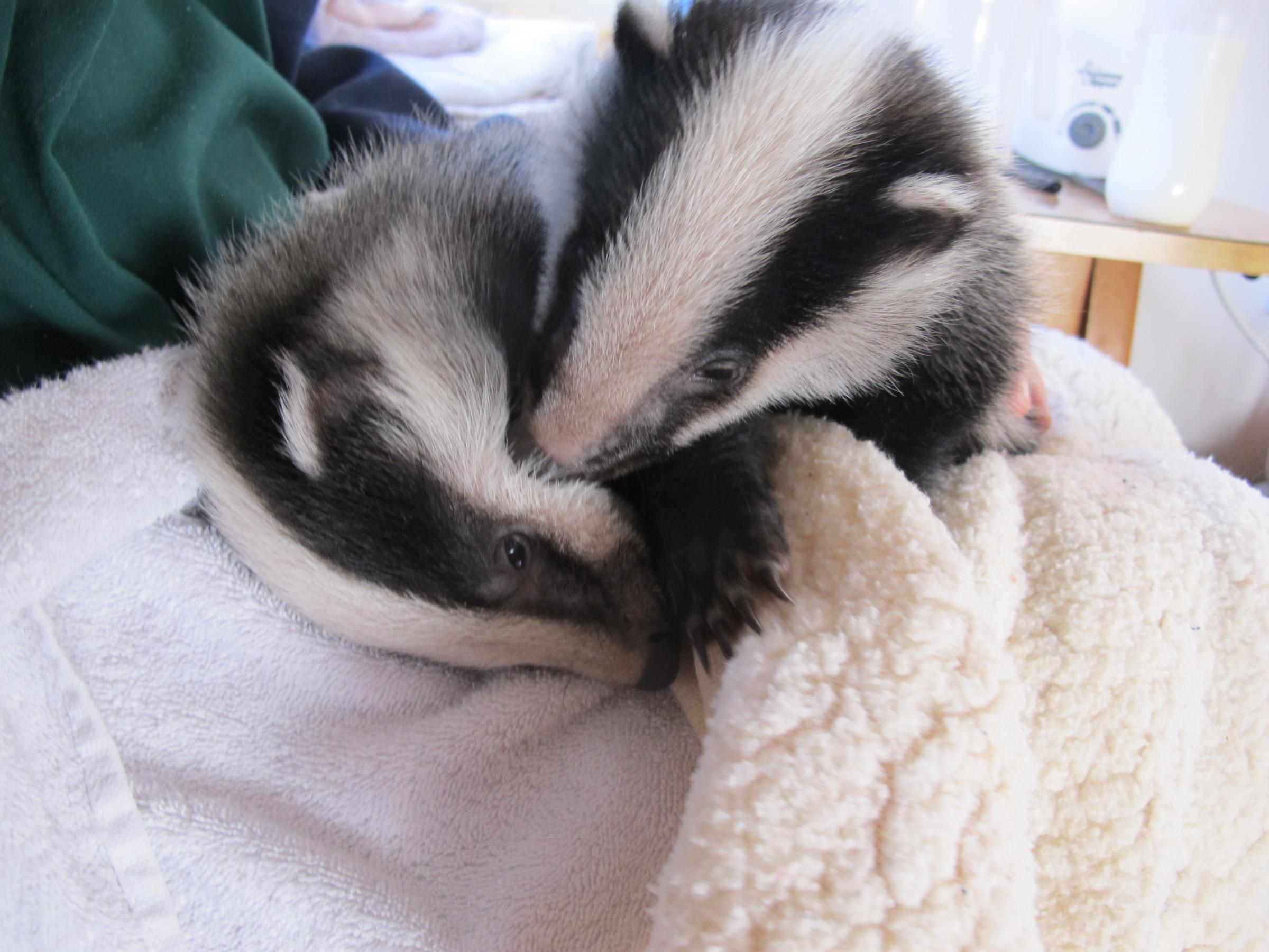 RESCUED: The badger cubs being treated by Secret World staff