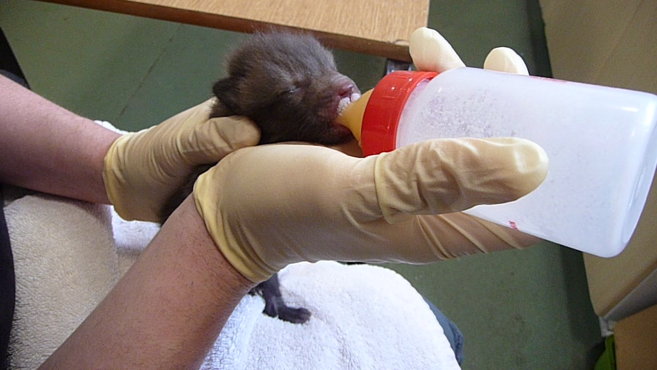 RECOVERING: Marion, who is now three weeks old, is recovering well at Secret World Wildlife Rescue