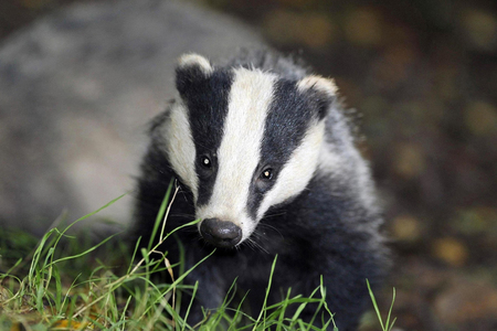 Badger cull 'could make TB epidemic worse', says High Court challenge