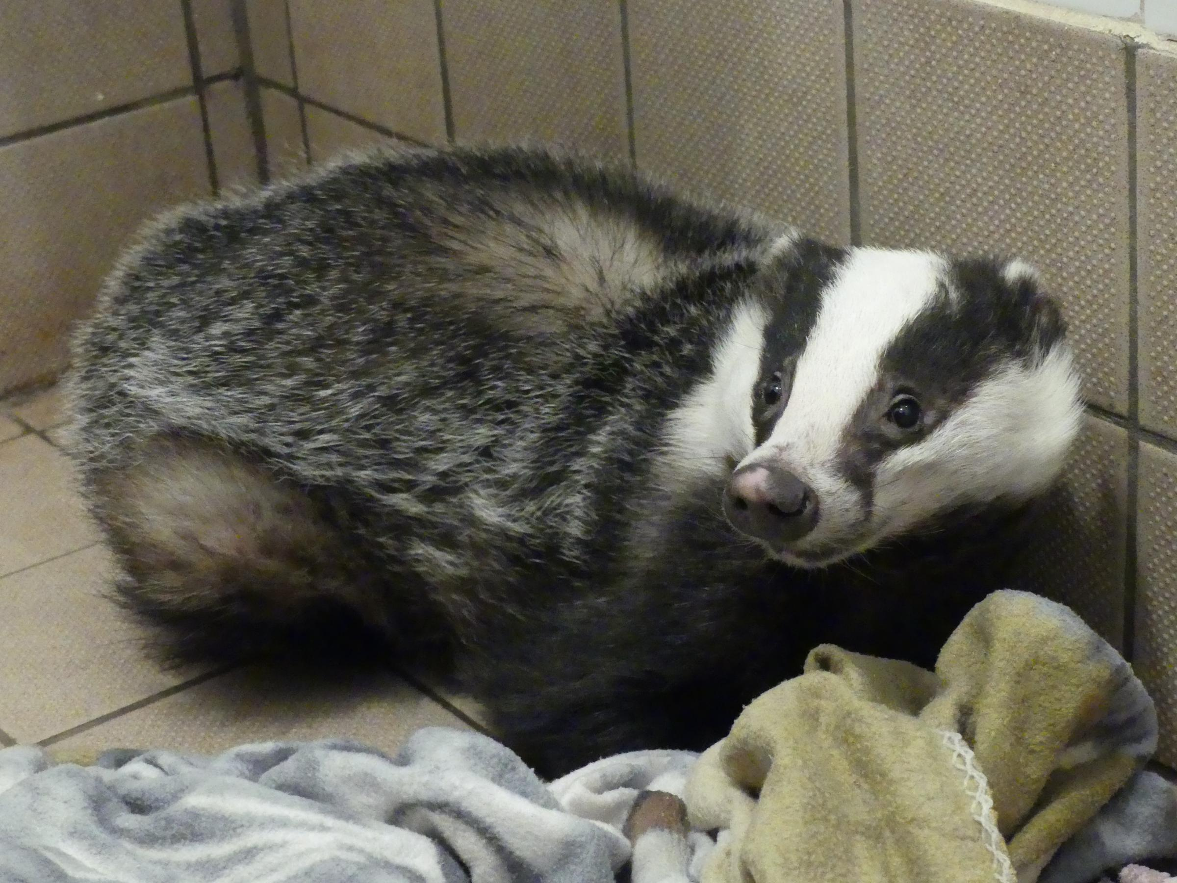 RESCUED: The badger receiving treatment at Secret World Wildlife Rescue