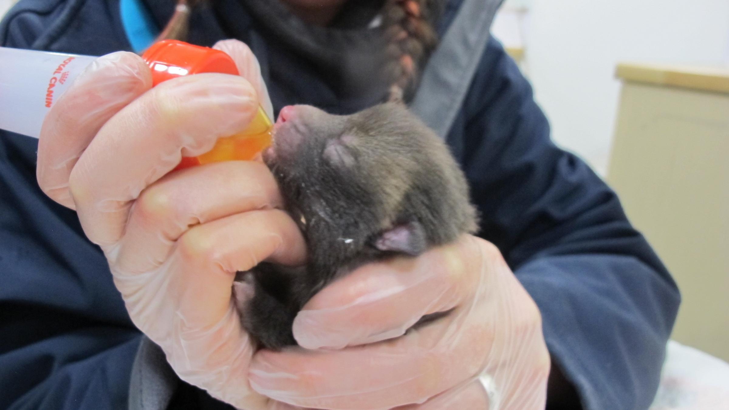 RESCUED: The orphaned fox cub, pictured, is recovering at Secret World Wildlife Rescue